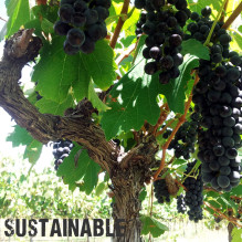 Sustainalbe Vines