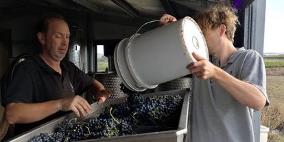 Crushing hand-picked grapes